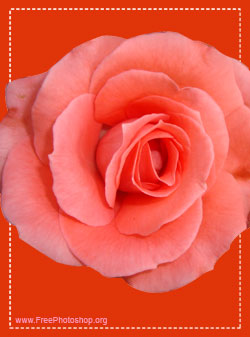 Fresh Rose Flower