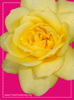Yellow Rose with Water Drops