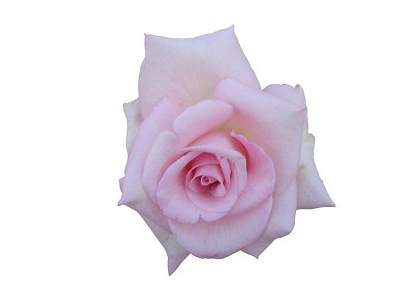 rose psd